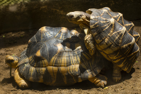 tortoise is reproducing in the desert,Slow life,thailand,Sulcata