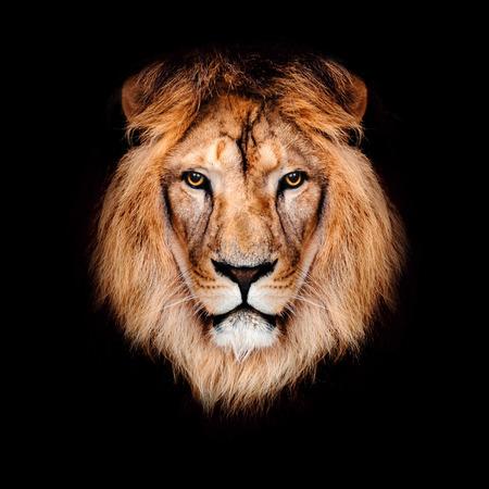 Photo pour Beautiful lion on a black background. - image libre de droit