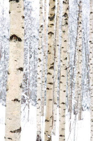 Closeup of birch trees in a