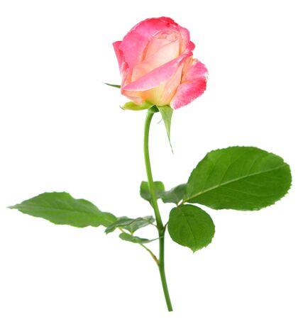 Photo pour two tones pink tea rose isolated on white - image libre de droit