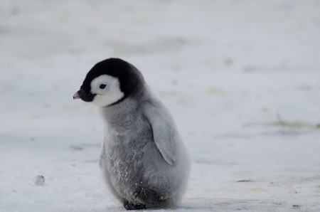 Lone Penguin Chick