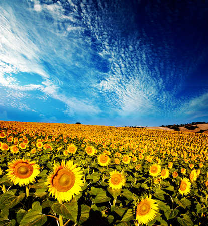 Foto de beautiful backlit sunflowers in the soft morning light with blue sky and white clouds - Imagen libre de derechos