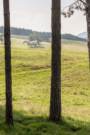 White horse on the green grass