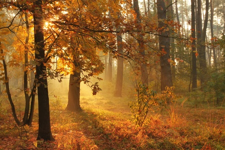 Autumn misty forest on sunrise