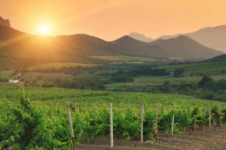 Vineyard At Sunset Mural Wallpaper