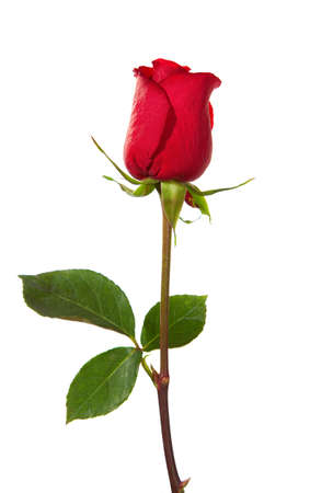 dark red rose  isolated on white