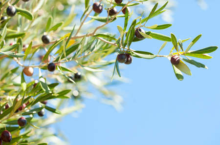 Olives on the tree against blue sky  Selective Focus