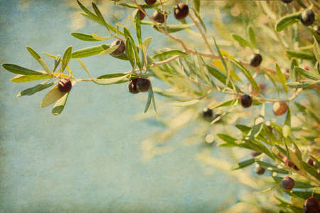 Olives on the tree against blue sky  Selective Focus   Added paper texture