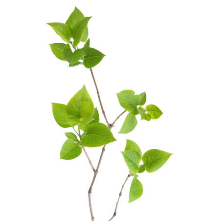 Foto de Young branch of lilac (Syringa vulgaris) isolated on white - Imagen libre de derechos