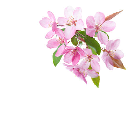 Photo pour  Light pink flowers  of decorative apple tree isolated on white background. - image libre de droit