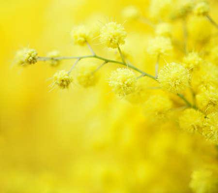Foto de Close-up of mimosas yellow spring flowers on defocused yellow background. Very shallow depth of field.  Selective focus. - Imagen libre de derechos