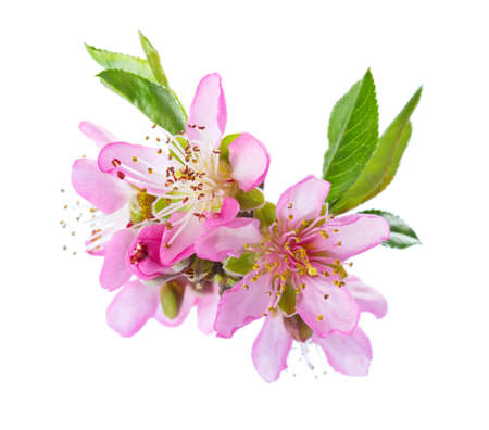 Photo for Closeup of blooming Almond flowers isolated on white background. - Royalty Free Image
