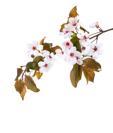 Photo pour Blossoming branch of Plum isolated on white background. - image libre de droit