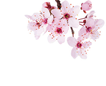 Photo pour Branch of Sakura isolated on a white background.  Close-up. - image libre de droit