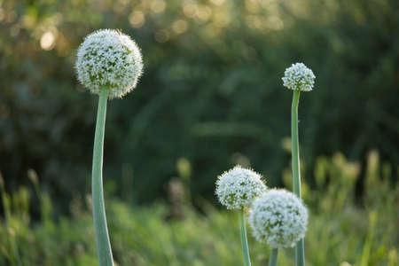 Allium Flower Flower