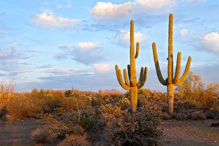 Saguaros in days last light.