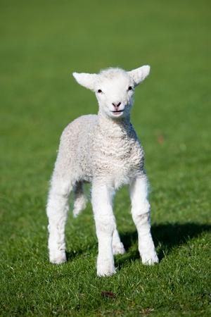 Photo for Lamb - Royalty Free Image