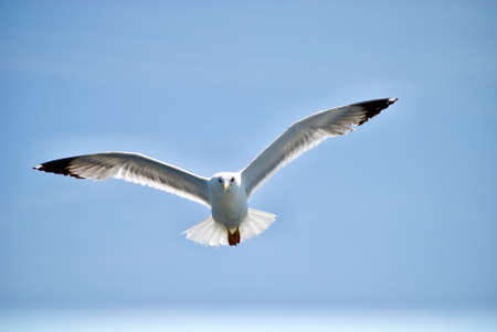 Photo for seagull flying over the sea - Royalty Free Image