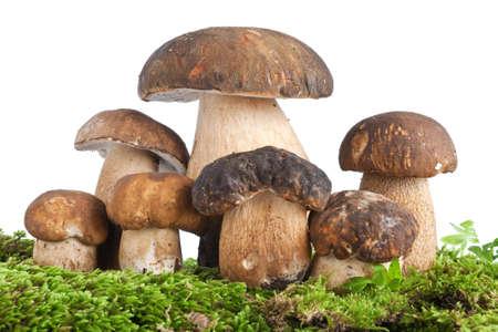 group of Boletus Edulis mushroom on moss isolated on white background