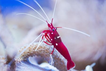 Photo pour red marine shrimp Lysmata debelius - image libre de droit