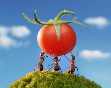 three ants holding fresh tomato