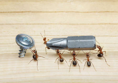 team of ants carries screwdriver to screw on wood, teamwork