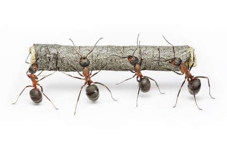 team of ants carries log, work in cooperation,  teamwork