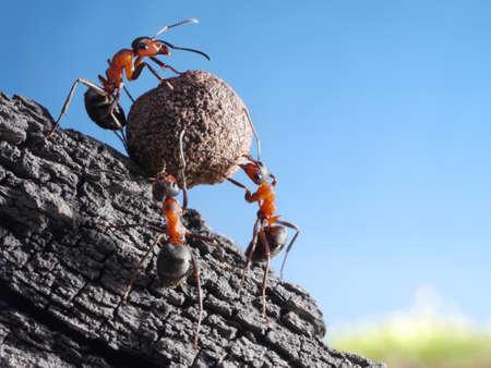 Photo pour team of ants rolls stone uphill, teamwork concept - image libre de droit