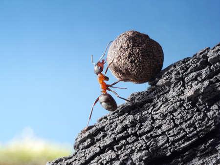 Photo pour red ant rolls stone uphill - image libre de droit