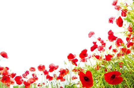 Photo pour Poppies red plant flowers on a white background . - image libre de droit