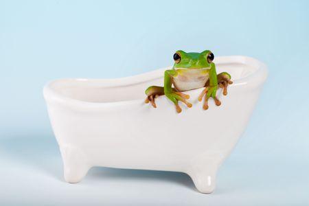 White-lipped tree frog or Litoria Infrafrenata on a bath