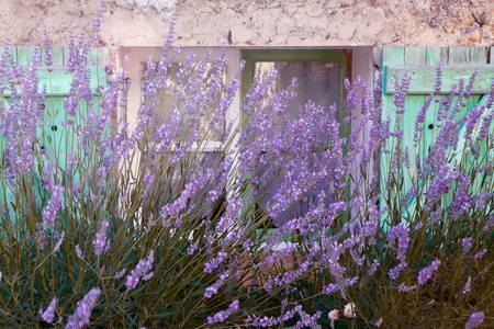 Lavender growing in front of a typical French pastel colored village window in Provence