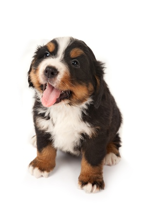 Six weeks old Bernese mountain dog puppy begging for attention