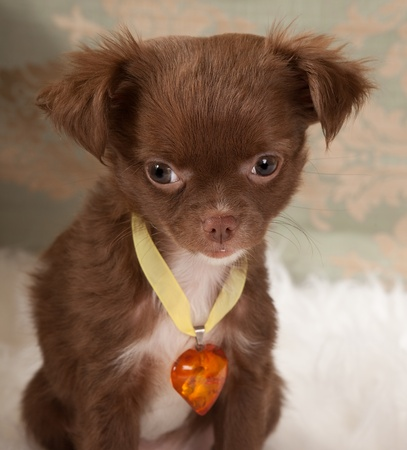 Valentine picture of a chihuahua puppy dog with an amber heart collar