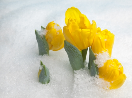 Early growing yellow tulips in the snow