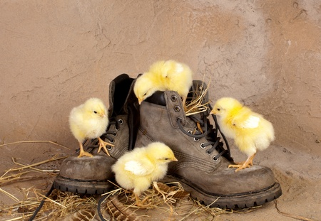 Funny yellow easter chicks climbing on old worn boot