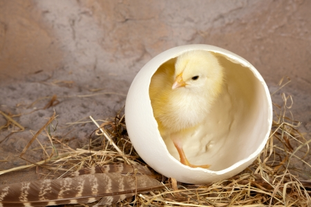 Small yellow easter chick in a big ostrich egg