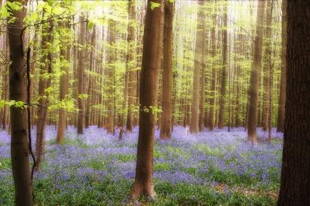 Sunbeams on bluebells in springtime forest near Brussels in Belgium