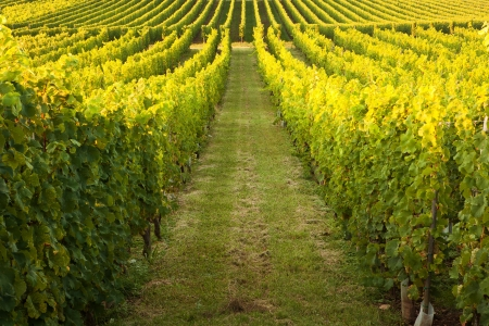 Endless vines in a row growing in the Alsace region of France