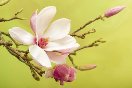 Branch of Magnolia flowers in full blossom in springtime