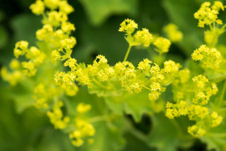 Lady s Mantle Close-Up