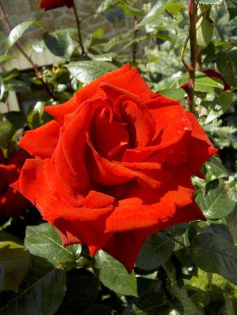 Scarlet rose on a bush in a garden