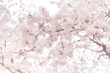 Photo pour abstract cherry blossom [Soft focus, Background] - image libre de droit