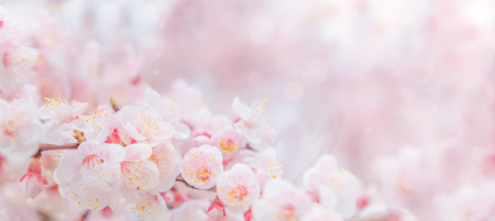 Photo for Cherry blossom in spring for background or copy space for text - Royalty Free Image
