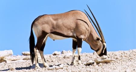 Oryx grazi ng in the desert