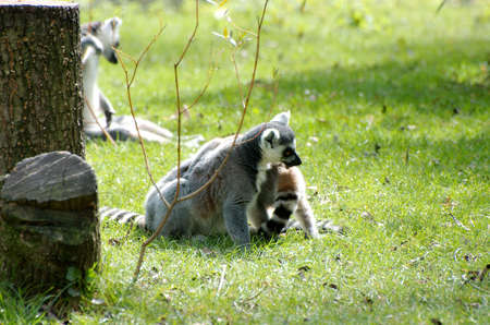 A couple of racoons playing in the sun