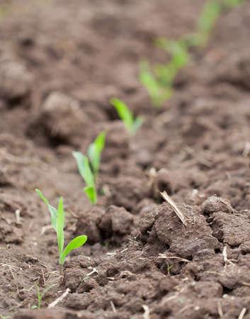 Corn seedlings growing cultivation of farmers