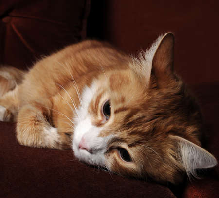 Sick red cat lying on the couch