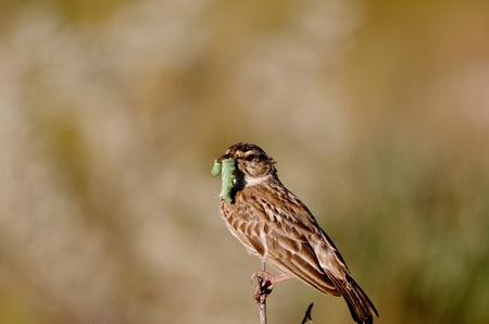 Vogel met rups in mond