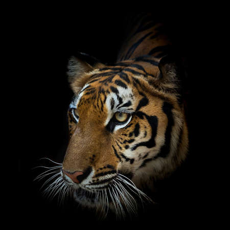 Photo pour Close up face tiger isolated on black background. (Panthera tigris corbetti) in the natural habitat, wild dangerous animal in the natural habitat, in Thailand. - image libre de droit
